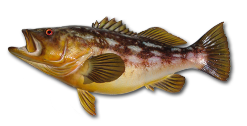 Kelp (Calico) Bass